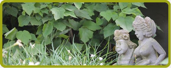 Planting Palette: Shrub Sparrmannia africana