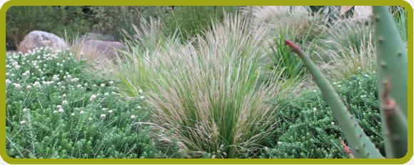 Planting Palette: Grasses Aristida junciformis